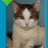 Domestic Shorthair/Domestic Shorthair Mix Cat for adoption in Shelbyville, Kentucky - Isabelle