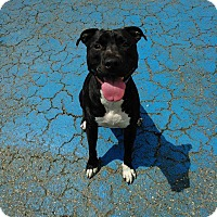 Adopt A Pet :: Monster (COURTESY POST) - Baltimore, MD