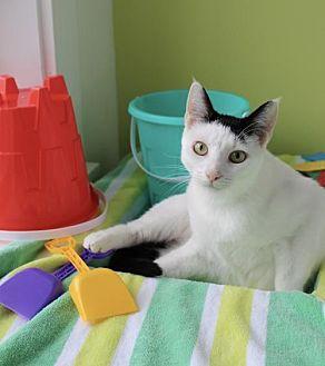 Domestic Shorthair Cat for adoption in Thibodaux, Louisiana - Lily Pie FE1-9543