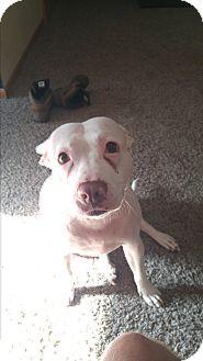 Pit Bull Terrier Mix Dog for adoption in St. Charles, Missouri - Bella/Courtesy Posting!