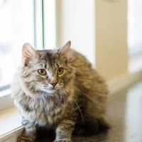 Domestic Shorthair Cat for adoption in Davenport, Iowa - Helen
