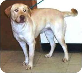 Labrador Retriever Mix Dog for adoption in Osseo, Minnesota - Hannah lab