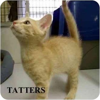 Domestic Shorthair Kitten for adoption in Slidell, Louisiana - TATTERS