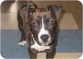Pit Bull Terrier/Boxer Mix Puppy for adoption in Houston, Texas - Buster