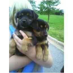 Chihuahua/Terrier (Unknown Type, Small) Mix Puppy for adoption in Lincolnton, North Carolina - Tootsie and Rudy
