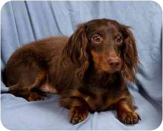 Dachshund Dog for adoption in Anna, Illinois - MONTE