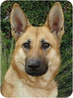 German Shepherd Dog Dog for adoption in Los Angeles, California - Ariel von Apferbaum is an exce