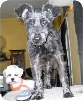 Schnauzer (Miniature)/Yorkie, Yorkshire Terrier Mix Dog for adoption in Phoenix, Arizona - Christine