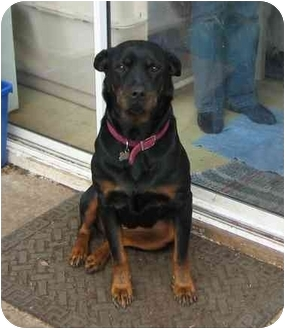 Rottweiler Dog for adoption in Tracy, California - Bridget