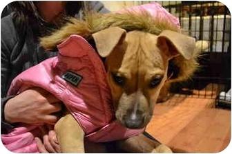 American Pit Bull Terrier/Labrador Retriever Mix Dog for adoption in Cincinnati, Ohio - Norma Jean Palowski