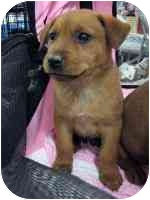 Shiba Inu/Shepherd (Unknown Type) Mix Puppy for adoption in tucson, Arizona - Hansel