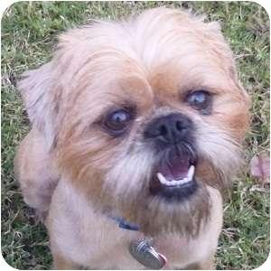 Brussels Griffon Dog for adoption in Phoenix, Arizona - Tansy