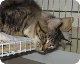 Domestic Longhair Cat for adoption in Seattle c/o Kingston 98346/ Washington State, Washington - Franken