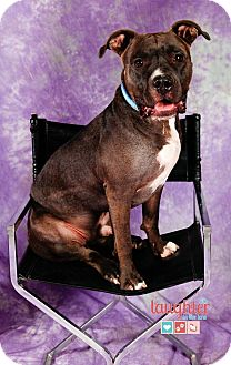American Staffordshire Terrier Mix Dog for adoption in Las Vegas, Nevada - Rufus