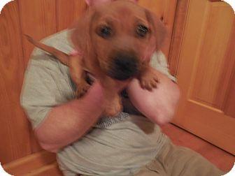 Basset Hound/Labrador Retriever Mix Puppy for adoption in Sumter, South Carolina - KENNEL #27