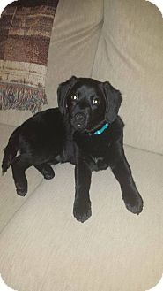 Dachshund/Blue Heeler Mix Puppy for adoption in New Oxford, Pennsylvania - Timber
