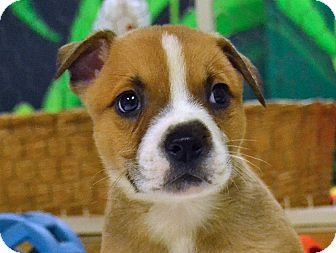 Boxer/Terrier (Unknown Type, Medium) Mix Puppy for adoption in Searcy, Arkansas - Cash
