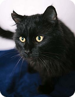 Domestic Mediumhair Cat for adoption in Troy, Michigan - Midnight