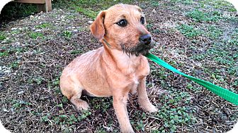 Irish Terrier/Terrier (Unknown Type, Medium) Mix Puppy for adoption in Jersey City, New Jersey - Christine Cagney