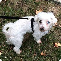 Adopt A Pet :: Cooper - New York, NY