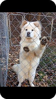 Samoyed/Chow Chow Mix Dog for adoption in Jersey City, New Jersey - Patrick Swayze
