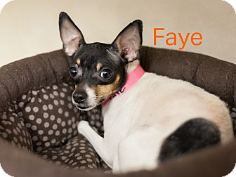 Rat Terrier Mix Dog for adoption in Dallas, Texas - Faye