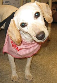 Hound (Unknown Type)/Terrier (Unknown Type, Medium) Mix Dog for adoption in Laconia, Indiana - Miracle