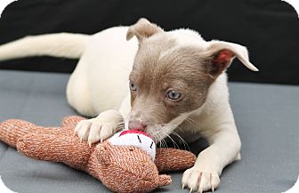 Fox Terrier (Smooth)/Chihuahua Mix Puppy for adoption in Marion, North Carolina - Monkey
