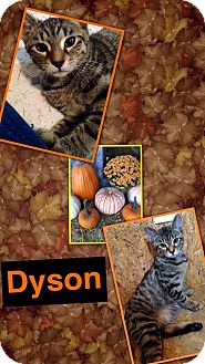 Domestic Shorthair Kitten for adoption in McDonough, Georgia - Dyson