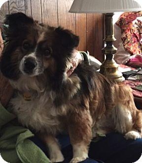 Australian Shepherd/Corgi Mix Dog for adoption in Minneapolis, Minnesota - Nora