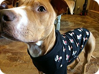 Bull Terrier/Labrador Retriever Mix Dog for adoption in Ft. Atkinson, Wisconsin - Charlie