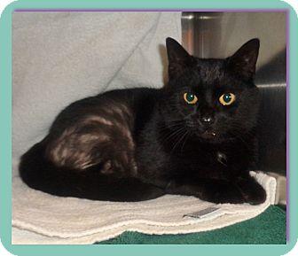 Domestic Shorthair Cat for adoption in Marietta, Georgia - LORETTA (R)