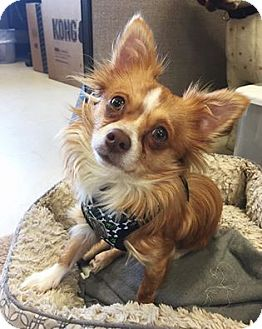 Chihuahua Mix Dog for adoption in Wilmington, Delaware - Gizmo