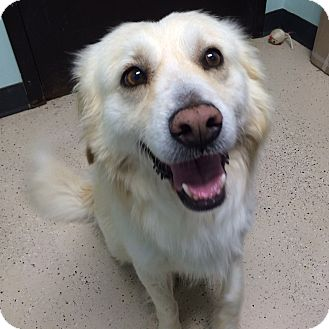 Golden Retriever Mix Dog for adoption in Minneapolis, Minnesota - Flynn