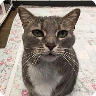 Domestic Shorthair Cat for adoption in Denver, Colorado - Cassius