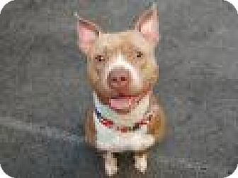 Pit Bull Terrier Mix Dog for adoption in Philadelphia, Pennsylvania - BUDDY