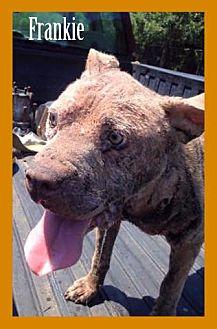 Pit Bull Terrier Dog for adoption in New York, New York - Frankie