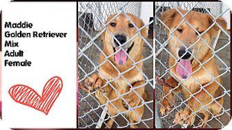 Golden Retriever Mix Dog for adoption in Aurora, Missouri - Maddie