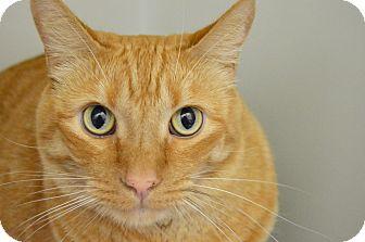 Domestic Shorthair Cat for adoption in Buena Vista, Colorado - Fritz
