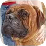 Bullmastiff Dog for adoption in Phoenix, Arizona - Auggie