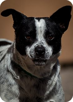Australian Cattle Dog Mix Dog for adoption in Westminster, California - Tortilla