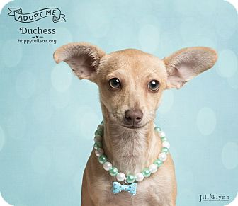 Dachshund/Chihuahua Mix Puppy for adoption in Chandler, Arizona - Duchess