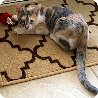 Domestic Shorthair Kitten for adoption in Arlington/Ft Worth, Texas - Holly