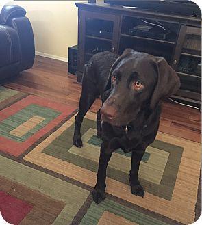 Labrador Retriever Puppy for adoption in Phoenix, Arizona - Luna