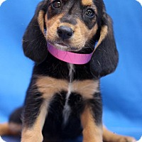 Adopt A Pet :: Lissandra - Waldorf, MD