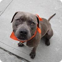 Adopt A Pet :: MITCHELL - Brooklyn, NY