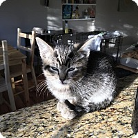 Domestic Mediumhair Kitten for adoption in Littleton, Colorado - Pickles