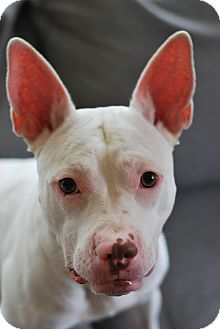 American Staffordshire Terrier/Bull Terrier Mix Dog for adoption in Cherry Hill, New Jersey - Lucy