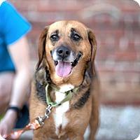 Adopt A Pet :: Shorty - Richmond, VA