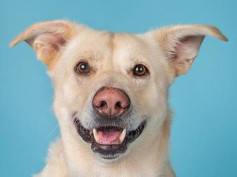 Mixed Breed (Large) Mix Dog for adoption in Longmont, Colorado - Murphy